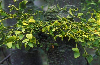Loài cây tầm gửi mang đến những công dụng bất ngờ gì